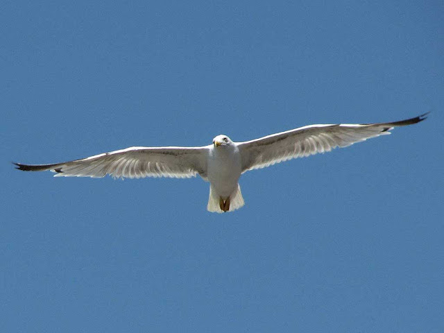 Seagull, port, harbor, Livorno