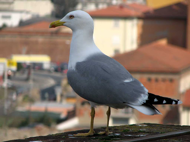 Seagull on top the Mastio di Matilde, Matilda's Keep, Fortezza Vecchia, Old Fortress, Livorno