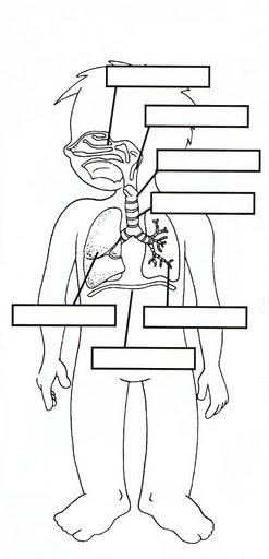 RESPIRATORY, DIGESTIVE & CIRCULATORY BODY SYSTEMS