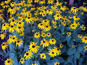 My Black Eyed Susans