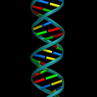 Honors Biology Period 3 2010-2011: DNA