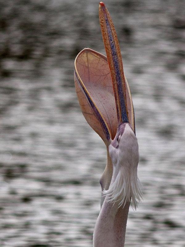 O Pelicano Na MaГ§onaria Novos Insólitos -...