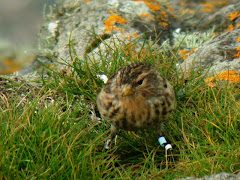 Heysham-ringed Twite at Machrihanish, Mull of Kintyre