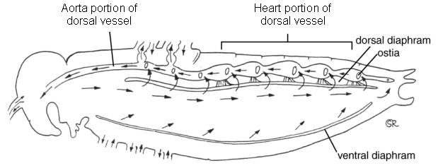 Horses respiratory system excretory system curcularatory s