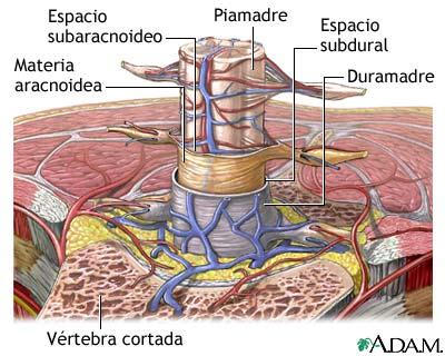 Sistema Nervioso Central S N C Duramadre Aracnoides Piamadre