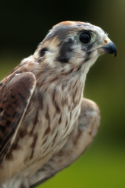 American Kestrel Falco Sparverius My Pet