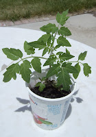 How to Grow tomatoes in a short growing season