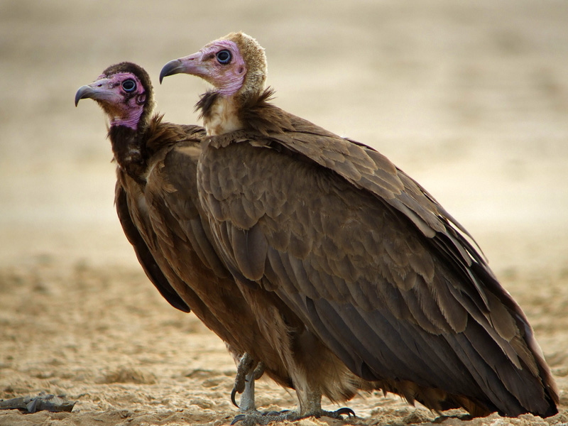 Real Monstrosities: Old World Vultures