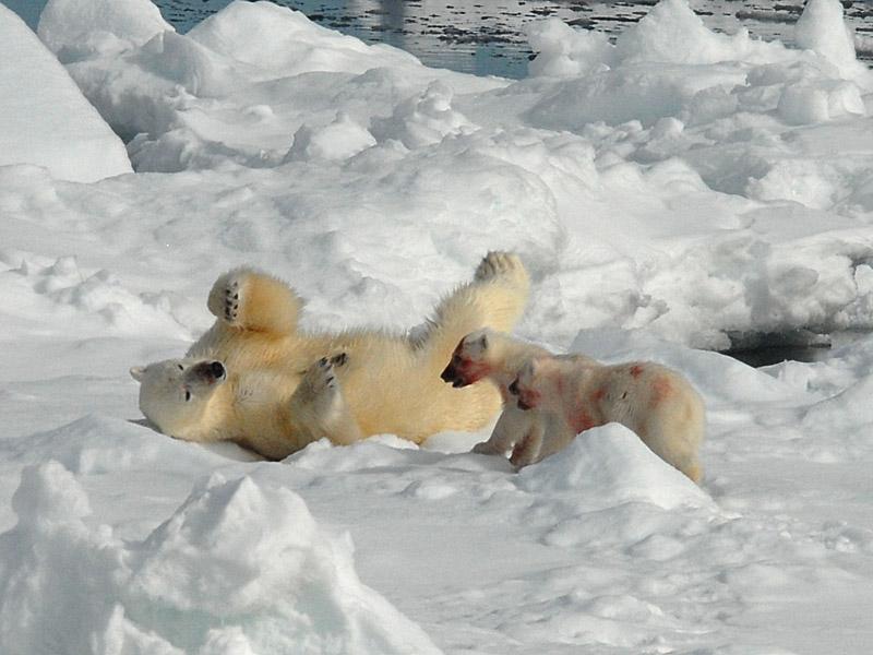 Imagenes De Osos Polares: Imagenes Hermosas Galeria De Osos Polares