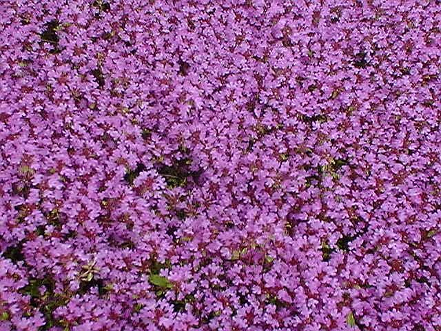 How To Grow Wild Thyme Seed Nursery