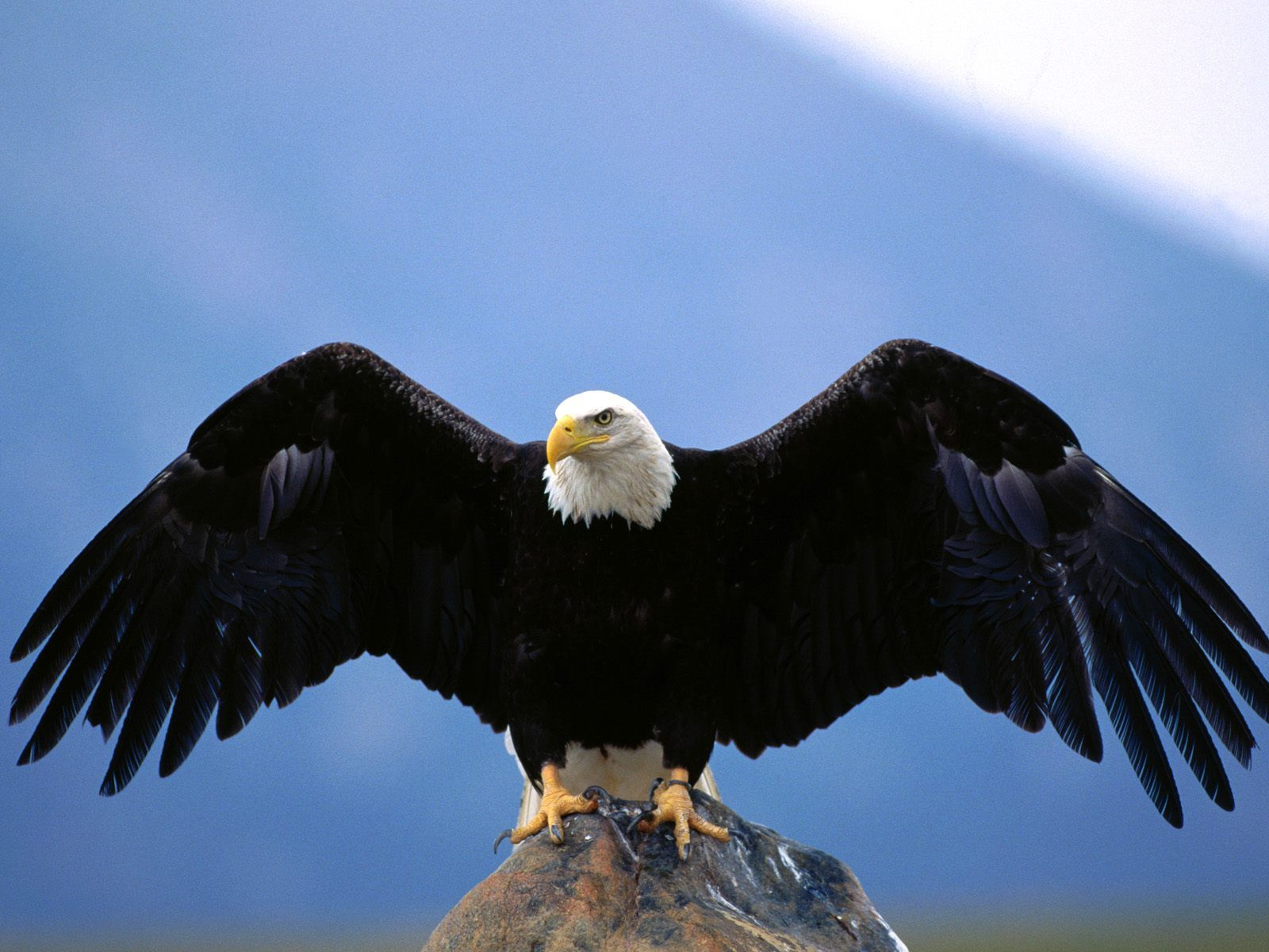TipTop 3D & HD Wallpapers Collection: Eagle Wallpapers