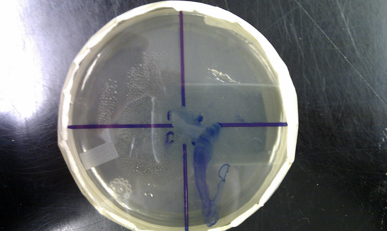 Tom Kim Bacteria Growth Lab