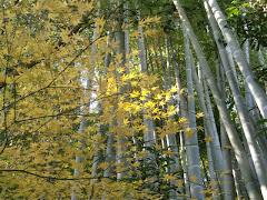 竹の庭と紅葉