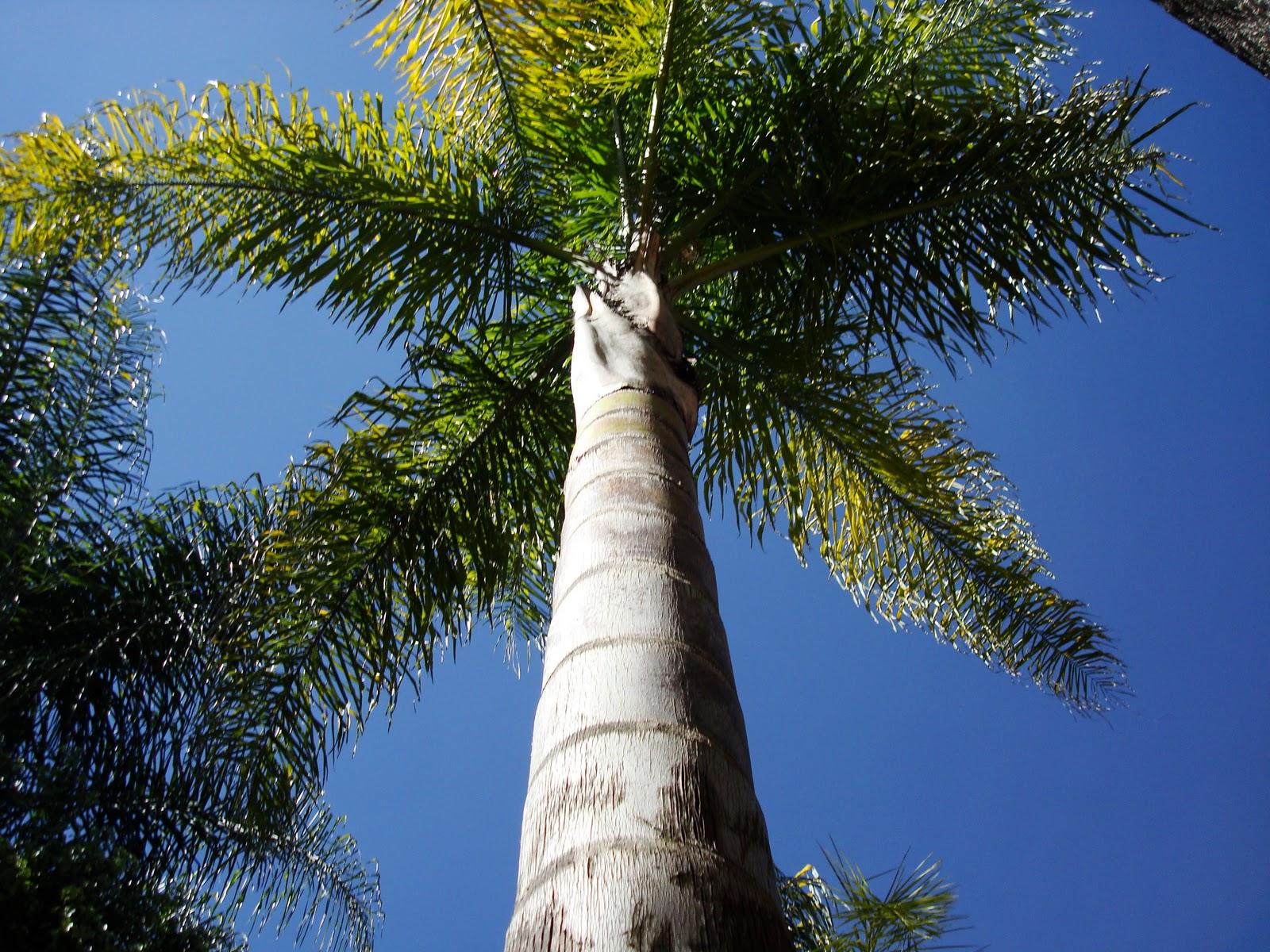 Sancarlosfortin las palmas coco plumoso del jardin - Compro vendo regalo la palma ...