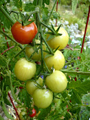 Japanese Plum Tomatoes