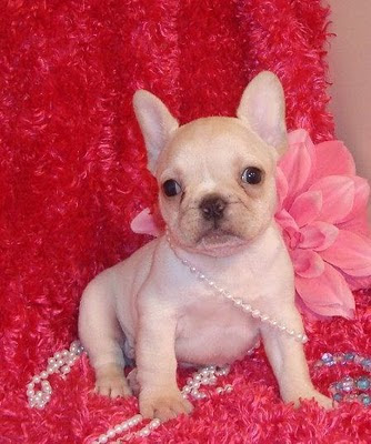 animalebrities: Cute looking French bulldog puppies