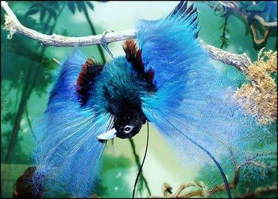 Resultado de imagem para pássaro azul do paraiso