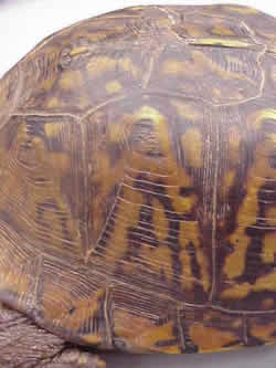 how to tell the age of a box turtle