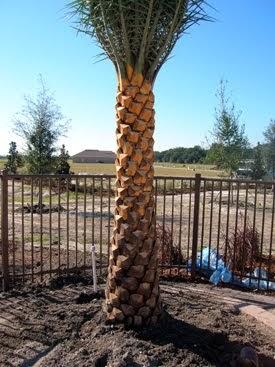 A Quality Plant Wholesale Date Palms Wholesale Date