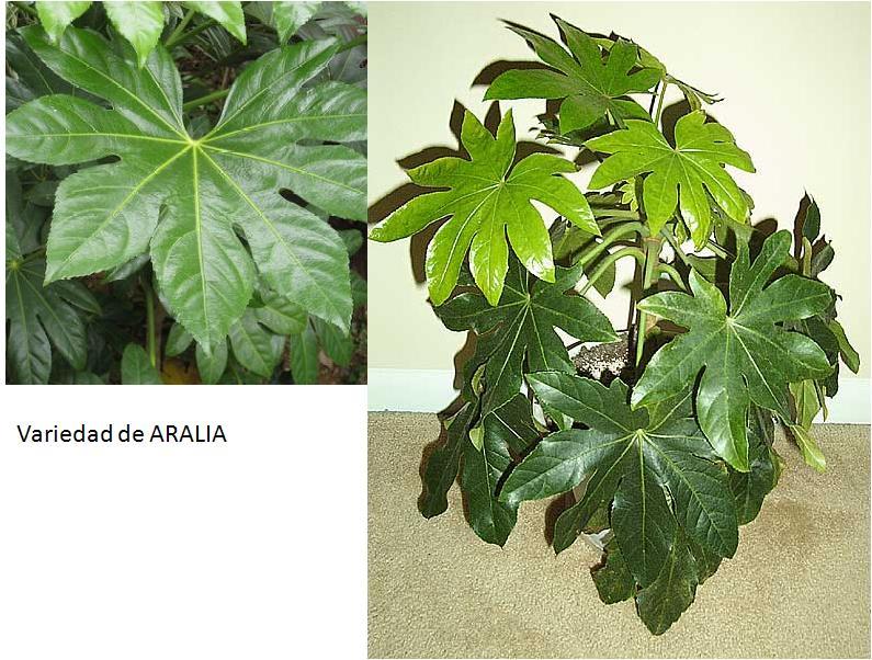 Aralia Una Planta Vistosa Los Invito A Pasear Por Mi Jardin - Plantas-verdes-exterior