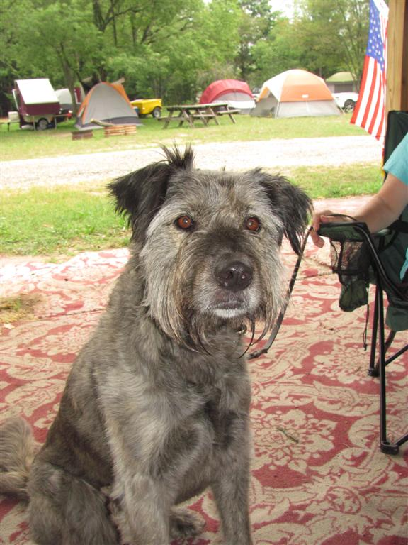 german shepherd irish wolfhound mix skid and sandy on the road august 2010 966