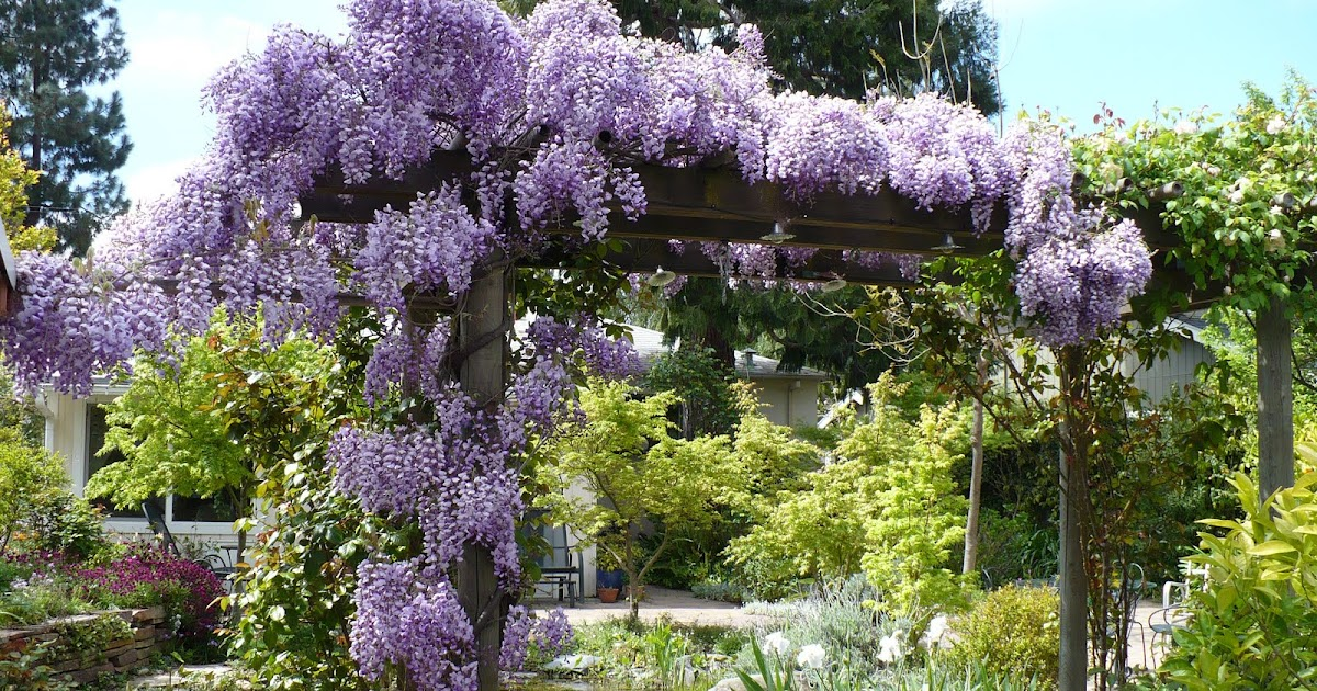 Lois Miller S Greenspeak The Care And Feeding Of Wisteria