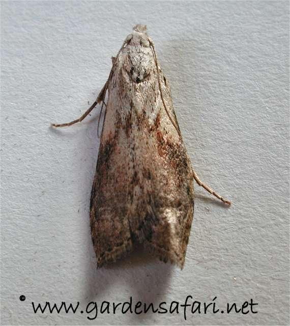 Sydney Wax Moths
