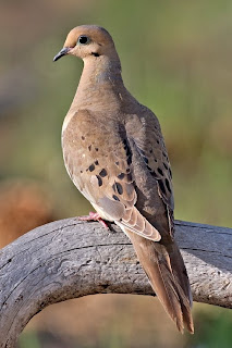 A mourning dove; photo courtesy of Wikipedia