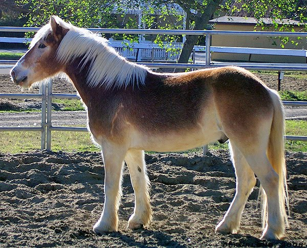 Pangre At gene also wild bay color in quarter horses - The ...