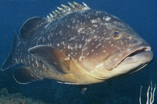 Resultado de imagem para mero peixe