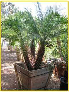 Gregory Palm Farms Pygmy Date Palms For Containers
