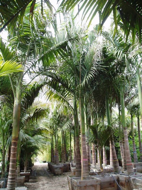 Gregory Palm Farms King Palms Locally Grown In Orange