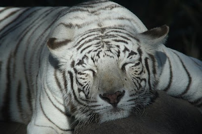 Zoo News Digest 500 Tigers Kept As Pets In Ontario Canada