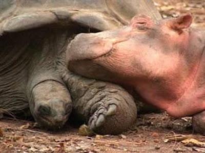 hippo-turtle-4.jpg