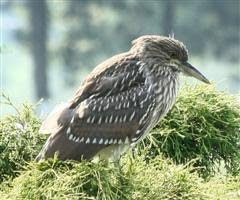 Juvenile Black Crowned Night Heron from the rookery I visit
