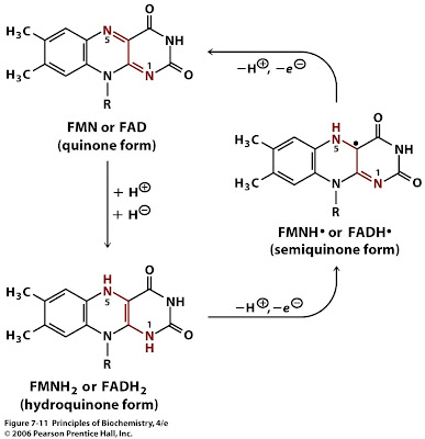 Sandwalk: Riboflavin (Vitamin B2), FMN and FAD