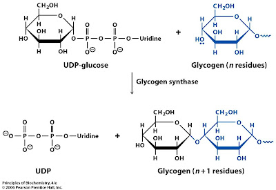 Sandwalk: Glycogen Synthesis
