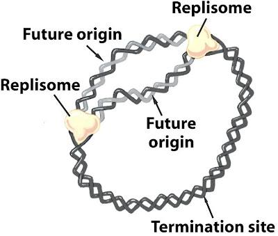 sandwalk dna replication in e coli the solution dna replication in e coli the solution