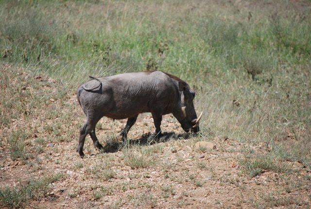 warthog and meerkat relationship problems