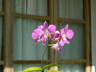 orhidee la fereastra
