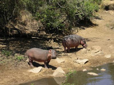 Safari Serengeti: hipopotami la marginea apei