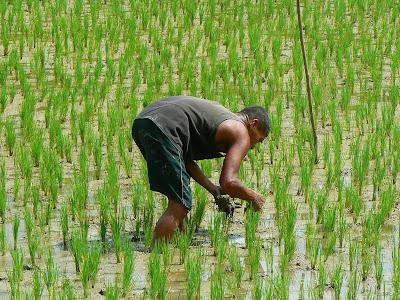 Imagini Filipine: orezarii Bohol