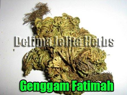 POKOK GENGGAM FATIMAH GRED A