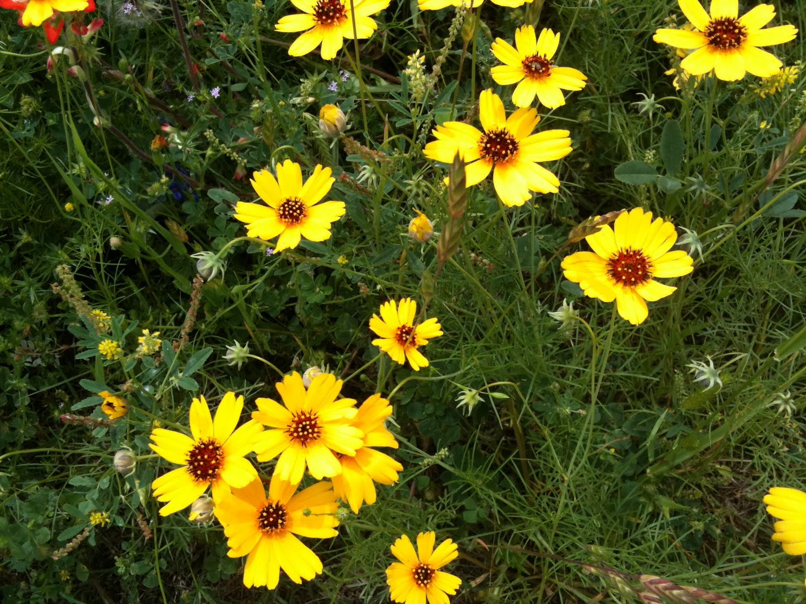 The Agafitei Journal Wildflowers In The Brenham Area