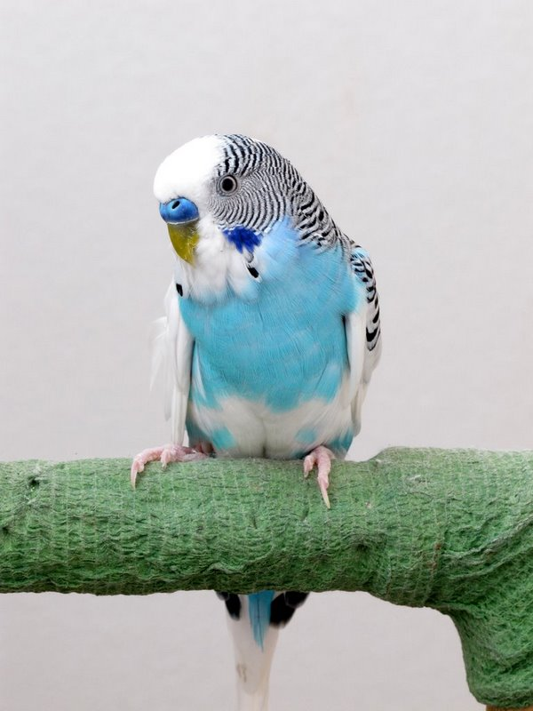 Parrot Musings: New budgie