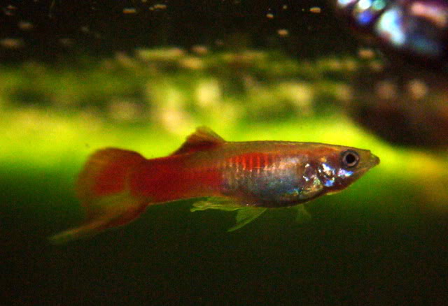 Swordtail Guppy Sale For Sale