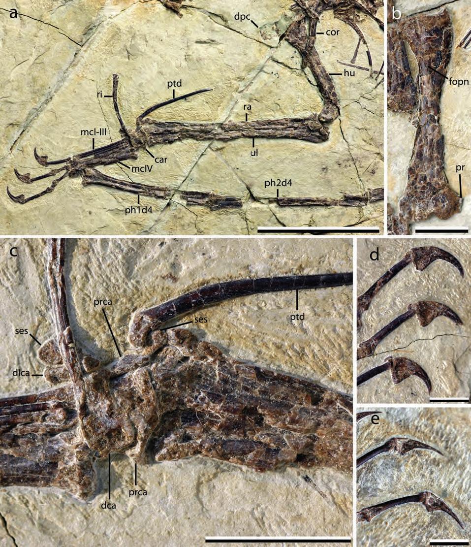 pan-Aves: Dawndraco. Kunpengopterus. Unwindia: vzpomínáme na darwinoptera a revidujeme pteranodona