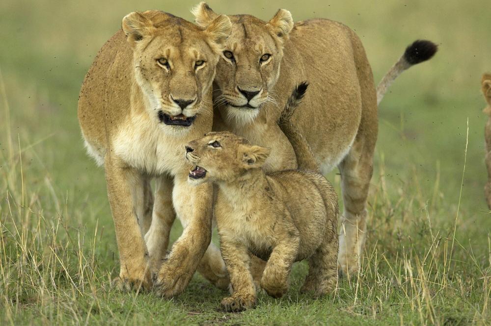 lions african animals wild animal lion raw africa wildlife species female go planet