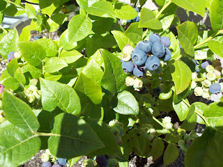 Young Blueberry Plant