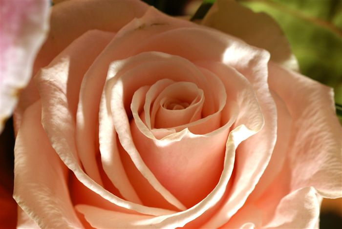 High definition photo and wallpapers free high definition - Peach rose wallpaper ...